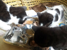 3 Black and white kittens for sale