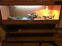 2 bearded dragons with full set up and stand