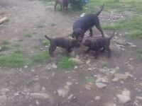 Kc registerd pedigree chocolate lab pups