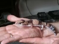 African fat tailed gecko and fully equiped vivarium