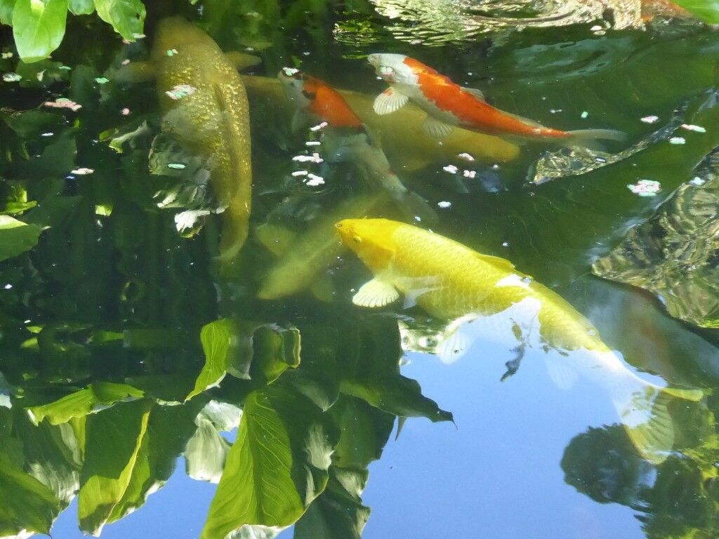 Koi Carp & one Orfe for sale | in Hull, East Yorkshire | Gumtree