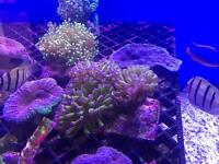 Hammer corals and frags - marine life