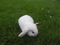 3 beautiful baby dwarf lop rabbits