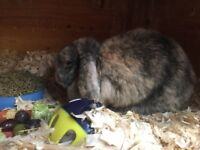 Mini lop rabbits adults need rehomeing