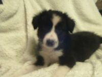 Long and Short Haired Border Collie Puppies