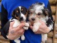 adorable cavapoojack puppies