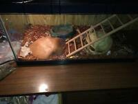 Ball python with everything for sale
