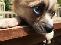 Pedigree Blue Eyed Chihuahua — RARE.