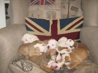 bulldogs 8 big chunky pups kc registered