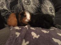 Swiss male baby guinea pigs