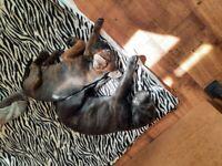 Cane corso x rottweiler puppies