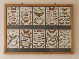 Light Oak Framed Moth/Butterflies Book Prints