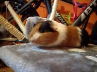Baby guinea pig ready for reservation.