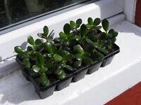 tray containing 10 money plants