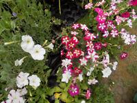 Garden Bedding Plants Flowers Hanging Basket