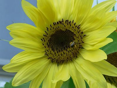 Sonnenblume 20 Samen (LEMON QUEEN - SONNENBLUME - HELIANTHUS ANNUUS - WINTERHART -  20 SAMEN)