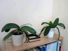 2 white orchids + pots