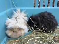 2 beautiful girl guinea pigs