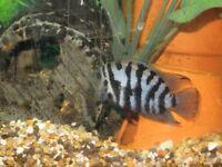 Tropical Fish - Black Convict Cichlids