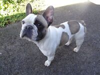 Beautiful fawn pied male French Bulldog
