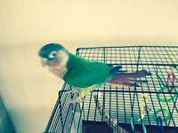Male and Female conure birds for sale