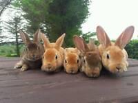 Stunning minirex rabbits