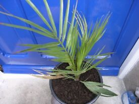 6 Plants incl Palm Tree, Fig tree, Fruit Tree Weymouth