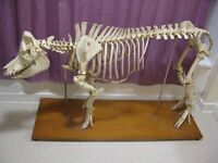 Vintage Pig Skeleton, Complete Taxidermy Example on stand, mid 20th Century
