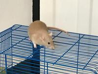 Beautiful Female Rat For Sale + Cage