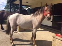 Stunning Welsh X 12.3 gelding needs new home