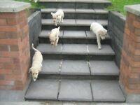 4 golden labrador pups