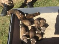 Baby pole cat Ferrets for sale 9 weeks old 6 Jill's 2 hobs