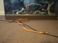 Adult Corn snake with full setup
