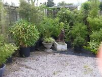 6 Lovely healthy Bamboos for sale