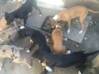 Puppies 4 sale Staffordshire bull terriers cross border collie all males £450