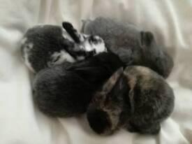 Lop bunnies ready 15th of nov