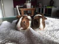 Pair of young male guinea pigs
