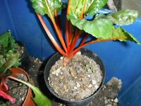 A red stem Swiss chard plant in a 12 cm plastic pot