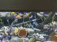 Mbuna / cichlids / fish / tropical