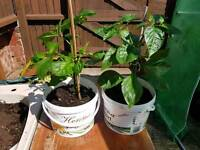 Naga Chilli Plants for Sale