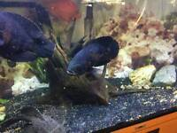 Oscer fish for sale