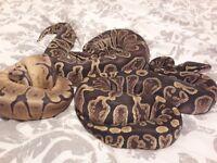 ghi royal python morphs