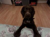 Cocker spaniel female dog chocolate color 16 weeks old...£ 400..