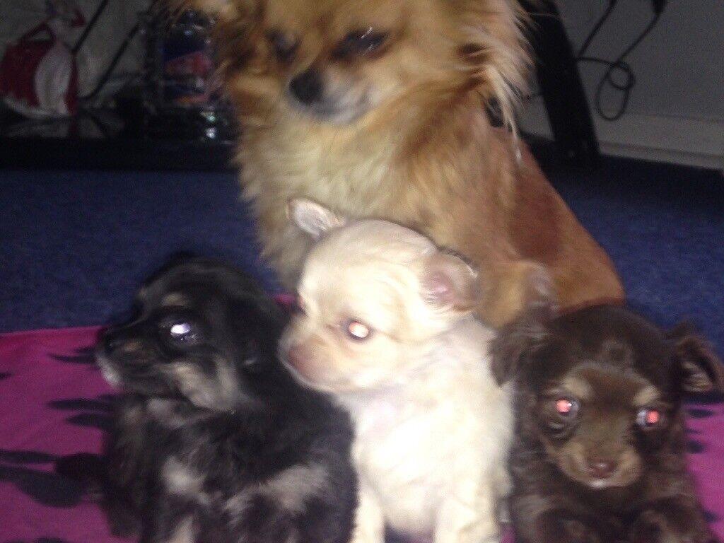 Chihuahua pups (3 females)