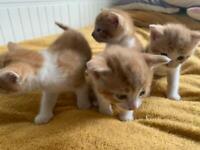 X4 Ginger Kittens available 29.09.2021