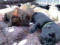 Labrador puppies!