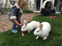 Two white rabbits 9 months old both female