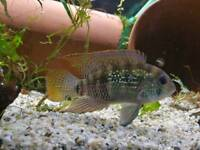 Pair of blue Acara aquarium fish