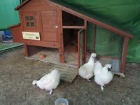 3 lovely Silkie Chickens pets for sale