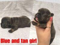 Blue and tan and Black and Tan kc French bulldog puppies